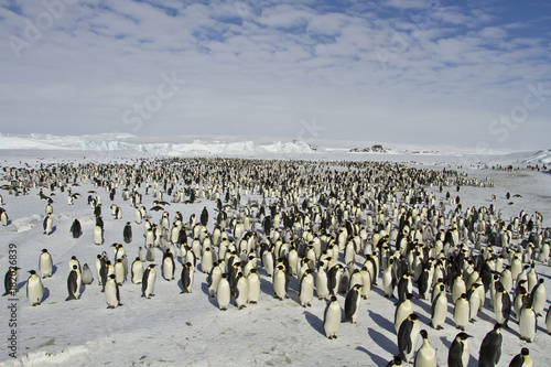 Photo Emperor penguins(aptenodytes forsteri)with Chicks in a colony in the Davis sea,A