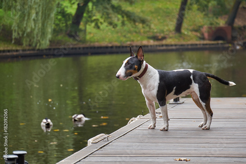 Photo Bull terrier puppy dog on a wooden pier at a lake, copy space, detail with selec
