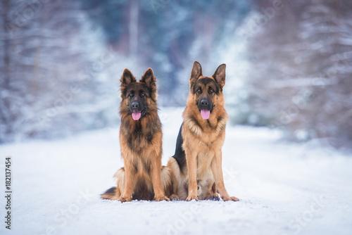Canvas Print Two german shepherd dogs in winter