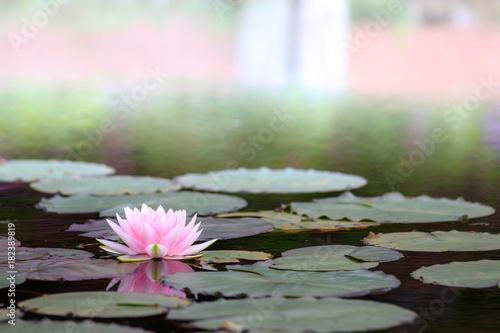 睡蓮の花 Fototapeta