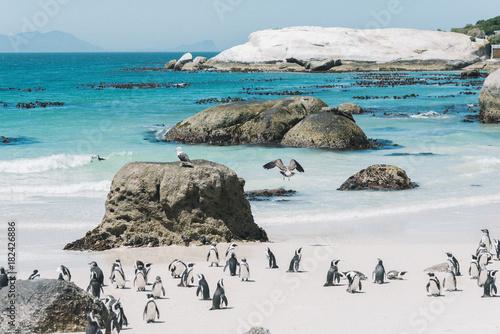 Pinguine am traumhaft schönen Boulders Beach in Kapstadt.