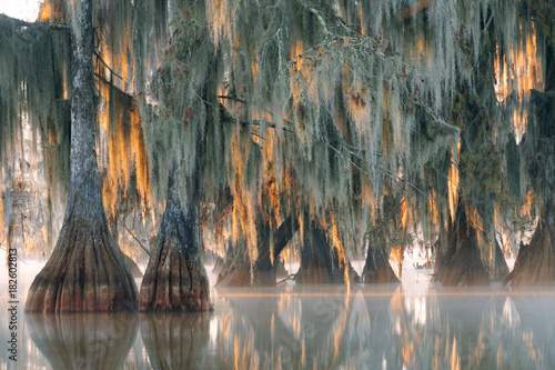 Fotografie, Obraz Trees of bald cypress with hanging Spanish moss in the first rays of the sun
