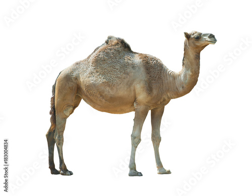Isolated camel (dromedary) over a white