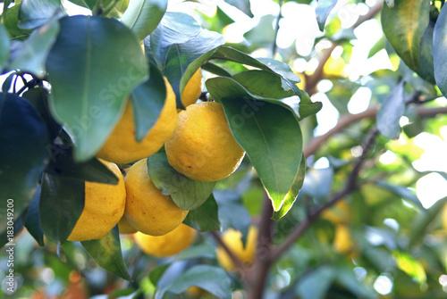 Tableau sur Toile Yuzu tree - Japanese Citrus -