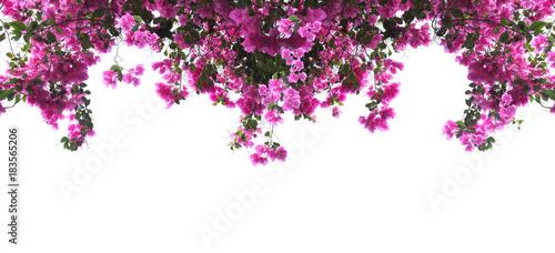 Cuadros en Lienzo Pink Bougainvillea flower on white background.