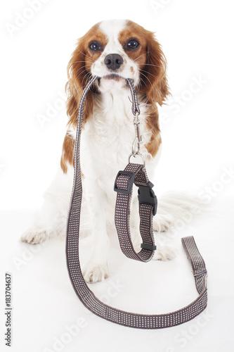 Valokuvatapetti Cute cavalier king charles spaniel dog puppy on isolated white studio background