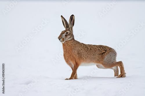 Fotografie, Tablou European brown hare lepus europaeus in winter