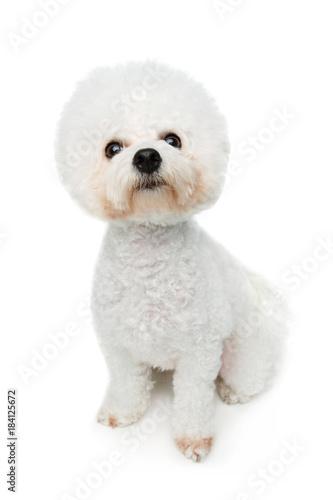 beautiful bichon frisee dog Fototapet