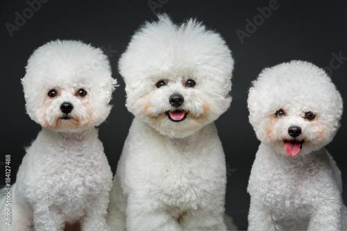 Valokuva beautiful bichon frisee dogs