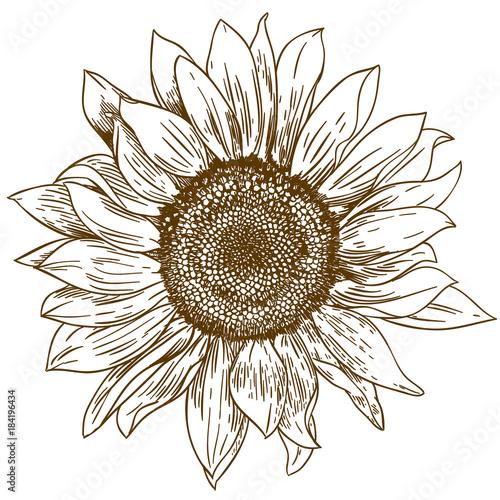Obraz na plátně engraving drawing illustration of big sunflower