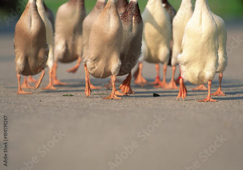 Gaggle of geese Fototapet