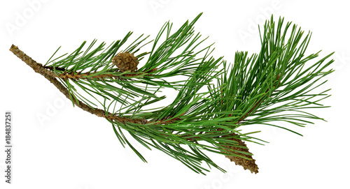 pine branch with cones, isolated without a shadow. Close-up. Christmas. New Year.