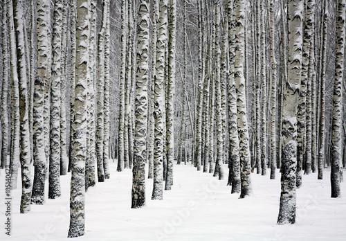 Snowy trunks of birch trees in winter forest