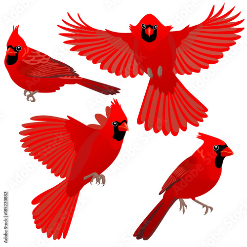 Foto Four poses of Cardinal bird / Cardinal birds are sitting and flying on white bac