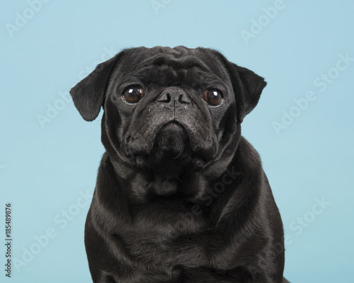 Wallpaper Mural Portrait of a black pug looking at the camera on a blue background