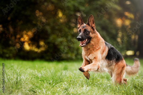 Running german shepherd dog Fototapeta
