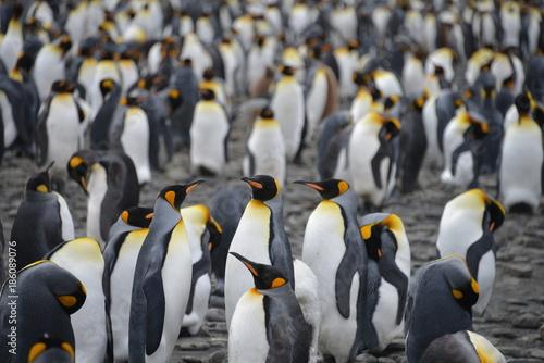 Penguin colony (on South Georgia)