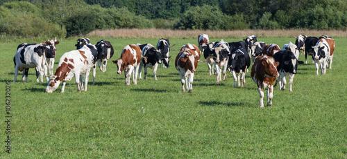 Fotografie, Obraz Cow herd in green pasture.Panorama.