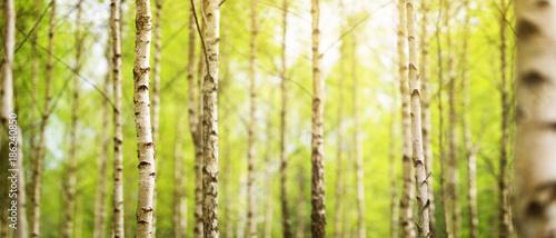 Fotografía birch tree forest in morning light with sunlight
