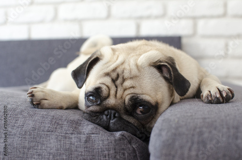 Photo Small cute dog breed pug lying on pillows and looking straight