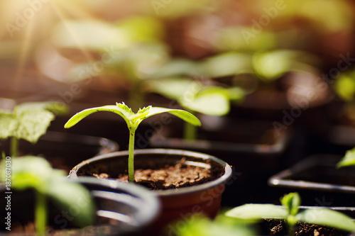 Fotografia, Obraz cucumber seedlings growing in the soil at greenhouse