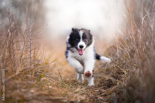 Obraz na plátne Running border collie puppy in winter time