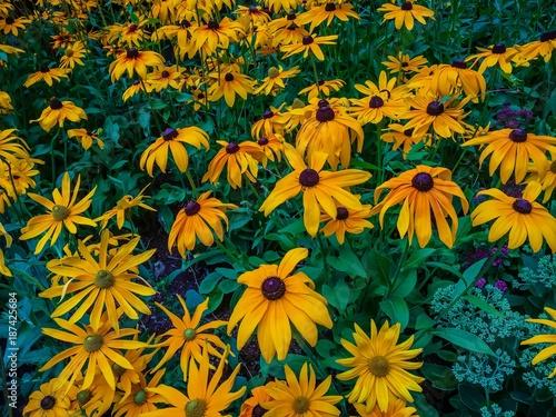 black eye susan flowers