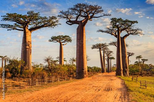 Carta da parati Beautiful Baobab trees at sunset at the avenue of the baobabs in Madagascar