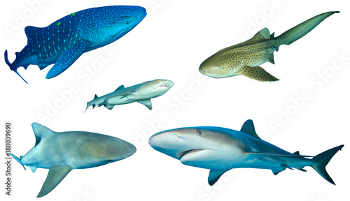 Sharks. Different shark species isolated white background. Whale Shark, Leopard, Whitetip Reef, Bull and Grey Reef Sharks