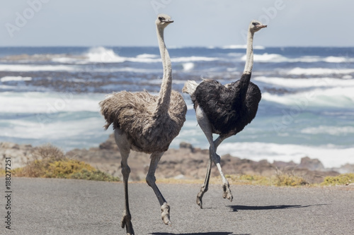 Ostriches in Cape of Good Hope