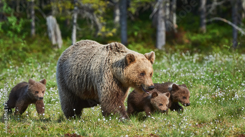 Fotografie, Obraz Female brown bear and her cubs, Ursus arctos