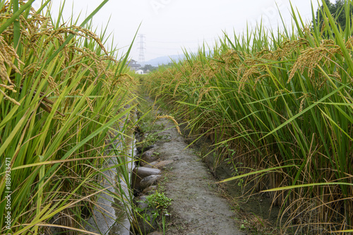 Retro Road between Rice