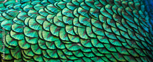 Stampa su Tela Peacocks, colorful details and beautiful peacock feathers.