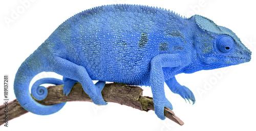 caméléon bleu