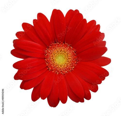 Fotografie, Obraz Red daisy on white background