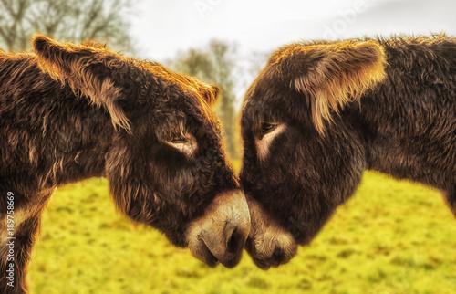 Eselpaar blickt sich in die Augen - A pair of donkeys looks into their eyes