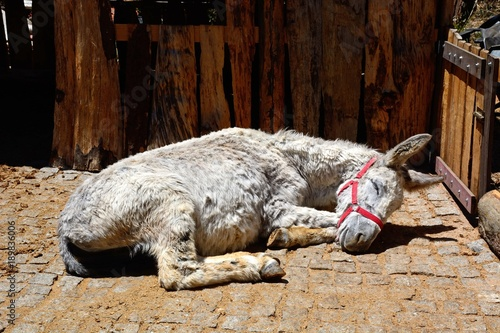 A white donkey sleeping in a small corral in the Monchique mountains, Algarve, Portugal.