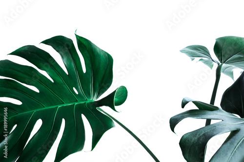 Fototapeta Real monstera leaves decorating for composition design
