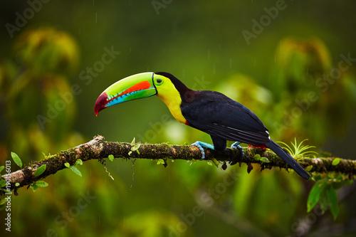 Fototapeta premium Portret Keel-billed Toucan (Ramphastus sulfuratus) siedzący na gałęzi w Tropical Reserve. W Kostaryce. Ptak przyrody