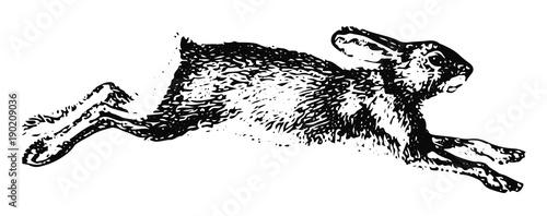 Fotografia, Obraz Hase Schneeschuhhase - Northern Varying Hare
