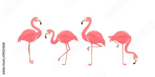 Fototapeta Flamingo bird illustration design on background