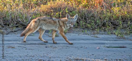 Fotografia coyote on the sand