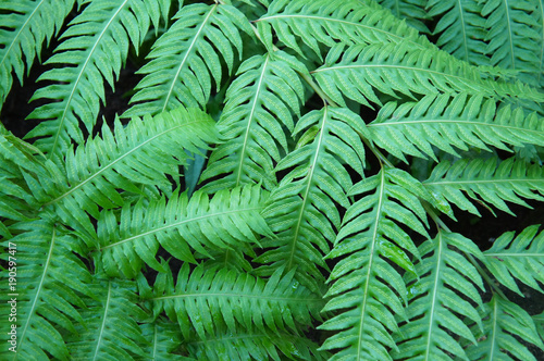 Woodwardia radicans green fern leaves background