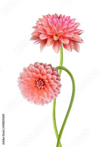 Valokuva Pink dahlia isolated on white background