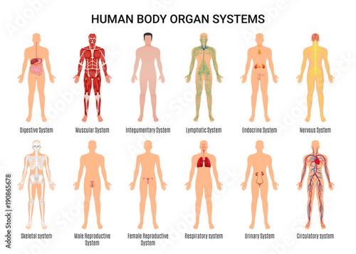 Human Body Organ Systems Poster Fototapeta