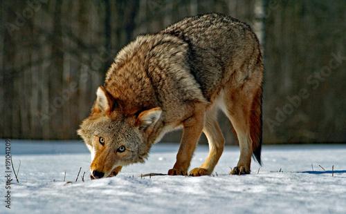 Fotografía Coyote Eating