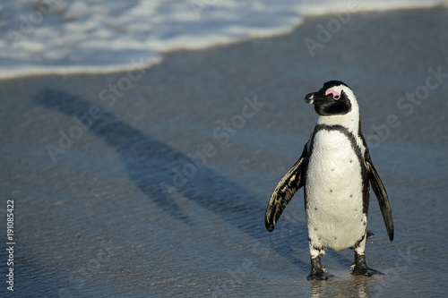 Canvas Print Penguin at Boulders Beach heading to the ocean