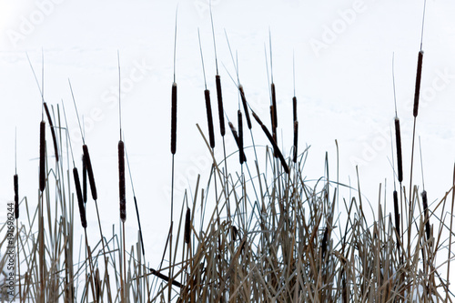 Dry reeds near the winter lake with snow. Background