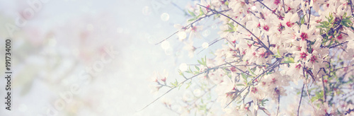 Foto website banner background of of spring white cherry blossoms tree
