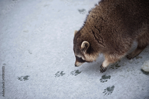 Canvas Print The Racoon on the Snowy Ice Sniffs to the Tracks of Another Racoon